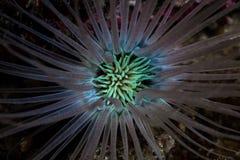 Kolorowy tubka anemon w Indonezja obrazy royalty free