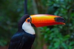 kolorowy tucan obrazy stock