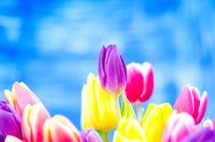 Kolorowy tulipan kwitnie na błękitnym tle z odbitkową przestrzenią dla teksta Wierzchołek widok błękitne niebo tła Walentynki pre Zdjęcia Royalty Free