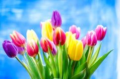 Kolorowy tulipan kwitnie na błękitnym tle z odbitkową przestrzenią dla teksta Wierzchołek widok błękitne niebo tła Walentynki pre Zdjęcie Stock