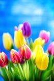 Kolorowy tulipan kwitnie na błękitnym tle z odbitkową przestrzenią dla teksta Wierzchołek widok błękitne niebo tła Walentynki pre Obraz Royalty Free