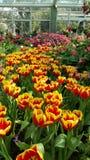 Kolorowy tulipanowi kwiaty Obrazy Stock