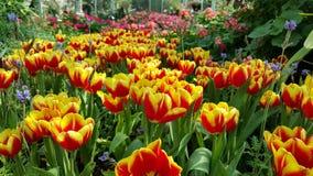 Kolorowy tulipanowi kwiaty Obrazy Royalty Free