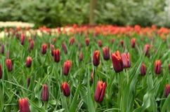 Kolorowy tulipanowy kwiatu łóżko kwitnie w Keukenhof parku, wiosen holandie zdjęcie royalty free
