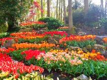 Kolorowy tulipanowy rockery w Keukenhof Zdjęcia Royalty Free