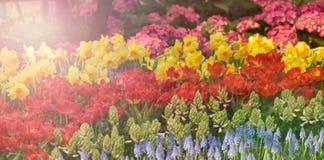 Kolorowy tulipanu kwiatu lato Fotografia Stock