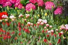 Kolorowy tulipanu kwiatu lato Zdjęcie Stock