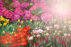 Kolorowy tulipanu kwiatu lato Obrazy Stock