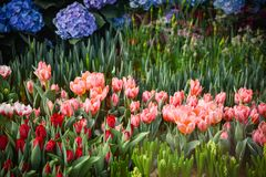 Kolorowy tulipanu kwiatu lato Zdjęcie Royalty Free