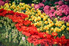 Kolorowy tulipanu kwiatu lato Fotografia Royalty Free
