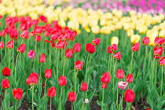 Kolorowy tulipanu ogród w wiośnie Obraz Royalty Free