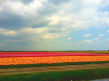 Kolorowy tulipanu pole w Keukenhof Obrazy Stock