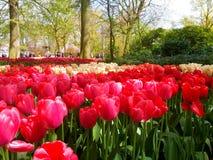 Kolorowy tulipanu pole w Keukenhof Fotografia Royalty Free