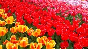 Kolorowy tulipanu pole w Keukenhof Zdjęcia Stock