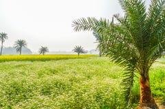 Kolorowy wiosna krajobraz z żółtym gwałtem: To jest fotografia Piękny rapeseed kwiatu pole chwytający od Pogodnego pola Zdjęcia Royalty Free