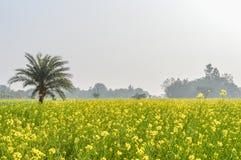 Kolorowy wiosna krajobraz z żółtym gwałtem: To jest fotografia Piękny rapeseed kwiatu pole chwytający od Pogodnego pola Fotografia Stock