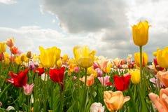 Kolorowy wiosna tulipanu pole Z światłem słonecznym I Błękitnym Chmurnym niebem fotografia royalty free