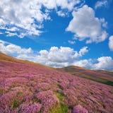 Kolorowy wzgórze skłon zakrywający fiołkowym wrzosem kwitnie Obrazy Royalty Free