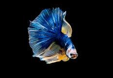 Kolorowy z g??wnym kolorem b??kitna betta ryba, Syjamska b?j ryba odizolowywali na czarnym tle Ryby tak?e akcja zwrot g?owa obrazy royalty free