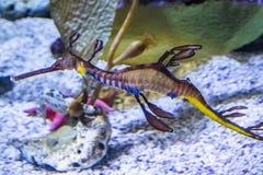 Kolorowy zachwaszczony seadragon zdjęcia royalty free