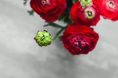 Kolorowy zielony ranunculus na makro- miękkiej części Fotografia Stock