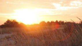 Kolorowy zmierzch w polu wiatr miesza trawy przy zmierzchem zbiory wideo