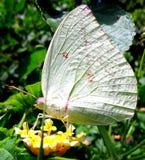 Koloru żółtego Łaciasty motyl Fotografia Stock