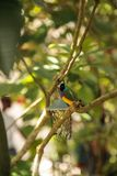 Koloru żółtego, błękita i purpur damy Gouldian finch Erythrura gouldiae, obraz royalty free