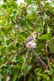 Koloru żółtego barbet na drzewie Tarangire, Tanzania obraz royalty free