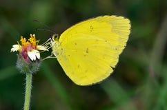 Koloru żółtego barwiony motyl zdjęcia royalty free