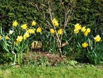 Koloru żółtego Daffodil ogrodowa granica Fotografia Stock