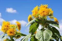 Koloru żółtego dwoisty słonecznik Zdjęcie Stock