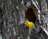 Koloru żółtego flycatcher Zdjęcie Royalty Free