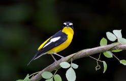 Koloru żółtego Flycatcher Ficedula zanthopygia Obrazy Royalty Free