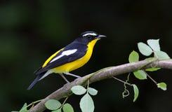 Koloru żółtego Flycatcher Ficedula zanthopygia Zdjęcie Royalty Free