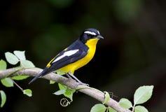 Koloru żółtego Flycatcher Ficedula zanthopygia Fotografia Royalty Free