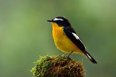 Koloru żółtego flycatcher & x28; Ficedula zanthopygia& x29; piękny ye obrazy stock