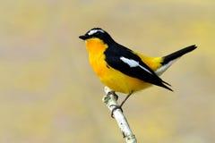 Koloru żółtego flycatcher & x28; Ficedula zanthopygia& x29; piękny ye obrazy royalty free