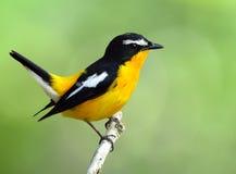 Koloru żółtego flycatcher piękny ye (Ficedula zanthopygia) obraz stock