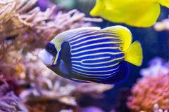 Koloru żółtego i błękita rybi anioł fotografia royalty free