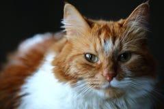 Koloru żółtego i białego siberian kot patrzeje ciebie Obraz Royalty Free