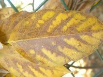 Koloru żółtego i brązu koloru suchy liść Fotografia Stock