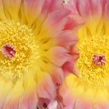 Koloru żółtego i menchii Kaktusowi kwiaty Fotografia Royalty Free