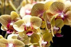 Koloru żółtego i menchii orchidee Obrazy Stock