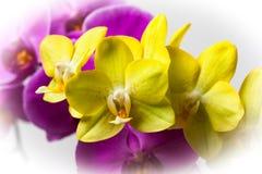 Koloru żółtego i menchii Otchid kwiaty zdjęcia royalty free