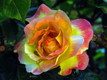 Koloru żółtego i menchii róża z cudownymi cieniami Obraz Stock