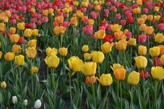 Koloru żółtego i menchii tulipany na łóżku, wiosna Zdjęcia Royalty Free