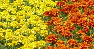 Koloru żółtego I pomarańcze pole nagietek Kwitnie W wiośnie zdjęcie wideo