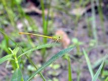 Koloru żółtego i zieleni dragonfly Zdjęcie Stock