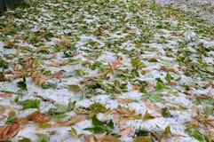 Koloru żółtego i zieleni liście Syberyjski klon na ziemi w śniegu Zimy i jesieni spotkanie Fotografia Stock